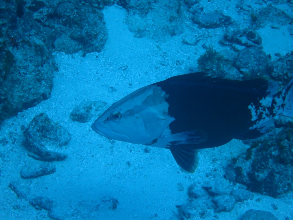 Incredible Grouper